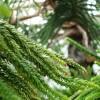 スギの鱗片葉