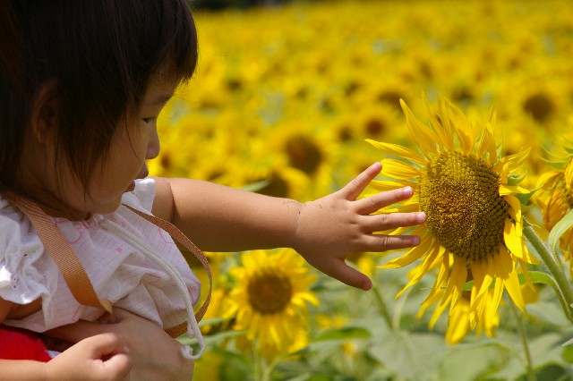 ひまわり畑と子供
